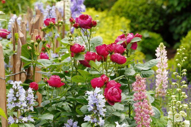 Die Kombination von Rosen und Stauden lässt Gartenträume Wirklichkeit werden.