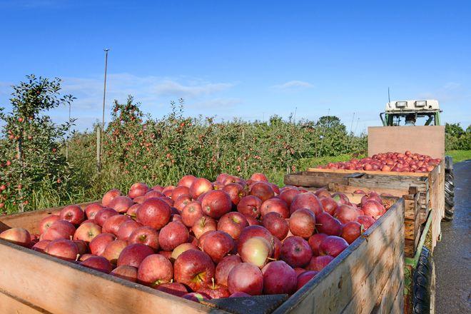 Von August bis November heißt es: Apfelernte im Alten Land.