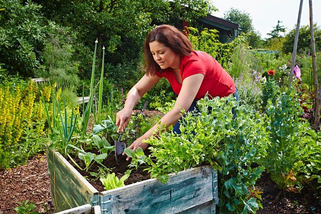 Gärtnern in bequemer Arbeitshöhe: Hochbeete versprechen eine köstliche Ernte.