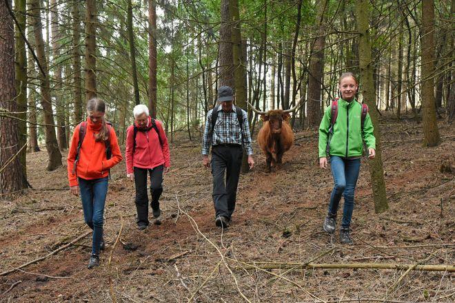 Unterwegs warten auf die Wanderer tierische Begegnungen. Im Naturschutzgroßprojekt Senne/Teutoburger Wald werden schottische Hochlandrinder und Exmoor-Ponys zur Waldbeweidung eingesetzt.