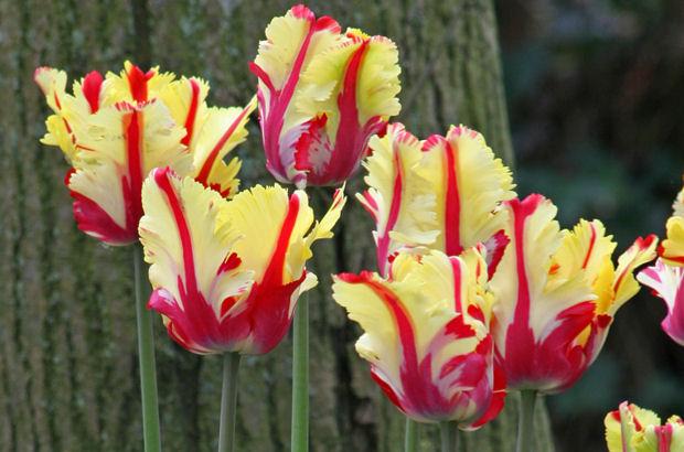 shirley marilyn und co tulpen wie von meisterhand gemalt ratgeberbox tipps tricks. Black Bedroom Furniture Sets. Home Design Ideas