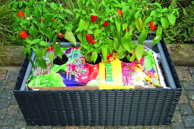 Pflücksalat Blattsalat Balkon Töpfe Kübelpflanzen Mini Garten
